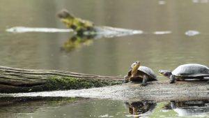 Les tortues d'eau douce, dans Reproducteurs à tout prix