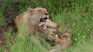 La lionne Selenkay et ses petits, dans Reproducteurs à tout prix