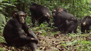 Les chimpanzés s'épouillent, dans Reproducteurs à tout prix