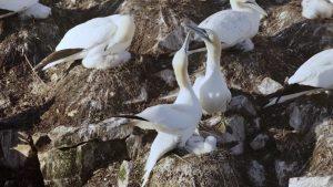 Un couple de fous de Bassin s'occupe de l'oisillon, dans Reproducteurs à tout prix