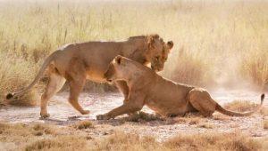 Vivre longtemps - Lions