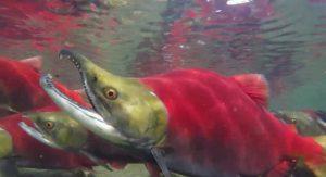 La vie prend fin - saumon