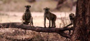Le babouin jaune