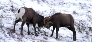 Le mouflon canadien au combat