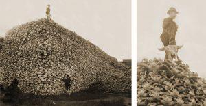 Extermination des bisons d'Amérique