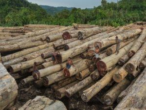 Coupes massives de la forêt primaire en Papouasie-Nouvelle-Guinée, dans Frères des arbres