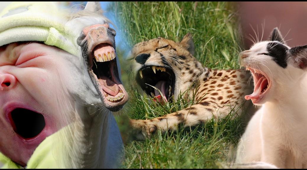 Des animaux qui baillent.