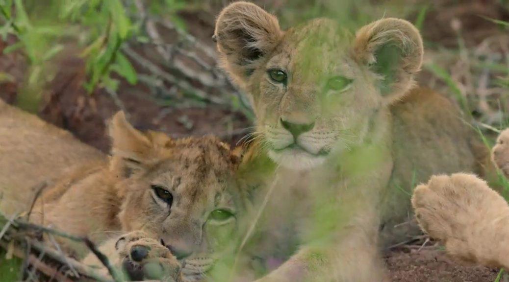 Les lionceaux de la lionne Selenkay, dans Reproducteurs à tout prix